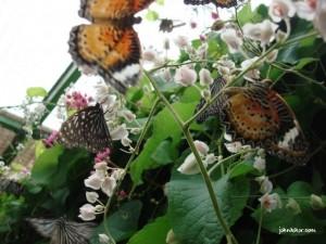 Beautiful Butterflies @ Penang Butterfly Farm