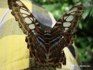 Upclose of the butterfly @ Penang Butterfly Farm