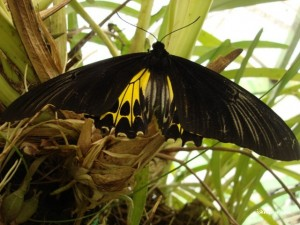 A rather cool butterfly @ Penang Butterfly Farm