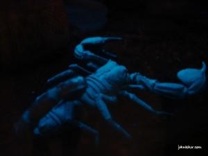 Fluoroscent scorpion @ Penang Butterfly Farm