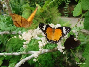 Beautiful butterfly @ Penang Butterfly Farm