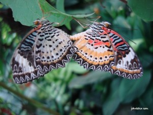 Rare sighting of butterflies mating @ Penang Butterfly Farm